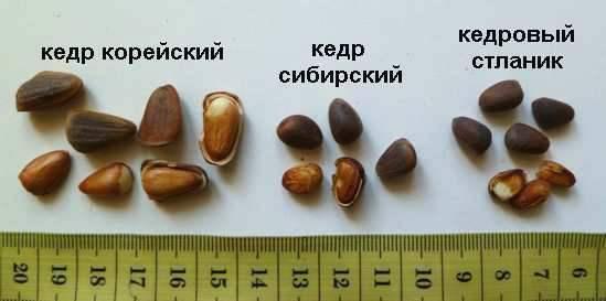 Орехи кедровых сосен